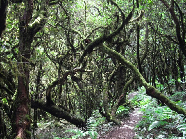 bosque-laurisilva-parque-nacional-garajonay-la-gomera-islas-canarias-espana-rainforest-national-park-canary-islands-spain