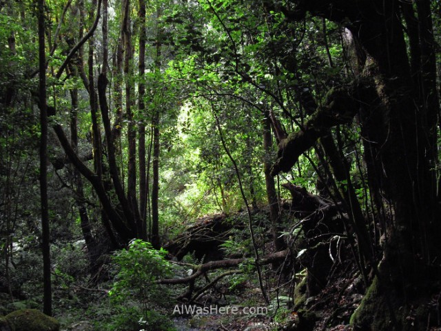 laurisilva-rainforest-garajonay-national-park-la-gomera-canary-islands-spain-bosque-parque-nacional-islas-canarias-espana