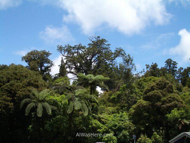 Bosque Kauris