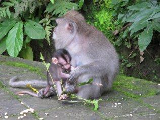 Mono con su cría en el Bosque de Monos