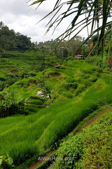 Terrazas arroz Bali Tegallalang Rice paddies fields (5)