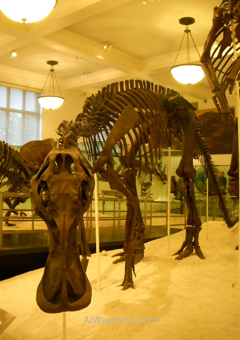 fosil-dinosaurio-museo-americano-de-historia-natural-nueva-york-fossil-museum-history-new
