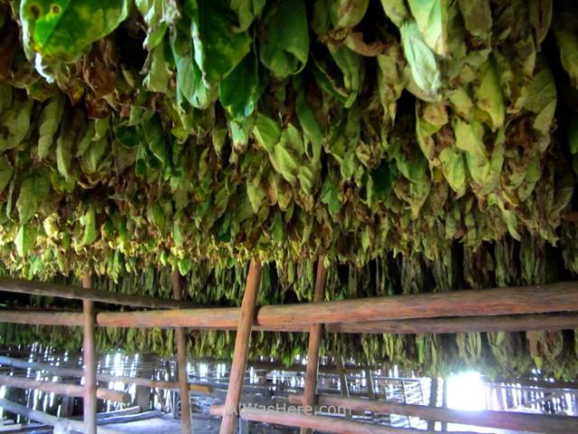 Viñales 10. Interior de un secadero de tabaco en el Valle de Viñales, Cuba. Tabacco drying in Vinales Valley