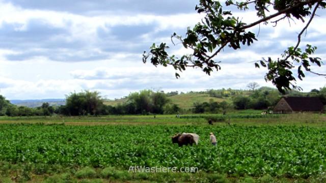 Viñales 7. Trabajando la tierra manualmente y con bueyes en el Valle de Viñales, Cuba. Working with oxen Vinales Valley