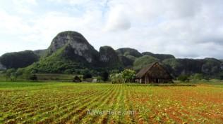 Plantaciones de tabaco en el Valle