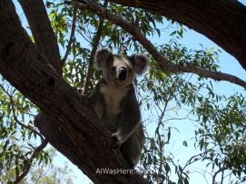 Koala en un árbol en Isla Magnética, Queensland, Australia