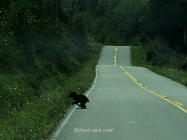 Juan de fuca 0. Botanical Beach. Osezno cruzando la carretera. Marine Trail, Isla de Vancouver, Columbia britanica, Canada. Island, British. Bear crossing the road