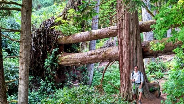 Juan de Fuca 11. alwashere arboles caidos perpendicular bosque Marine Trail, Isla de Vancouver, Columbia Britanica, Canada. British, Island forest fallen trees
