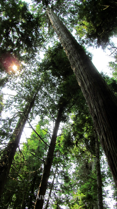 Juan de Fuca 12. arboles gigantes sitka spruce picea bosque Marine Trail, Isla de Vancouver, Columbia Britanica, Canada. British, Island forest trees