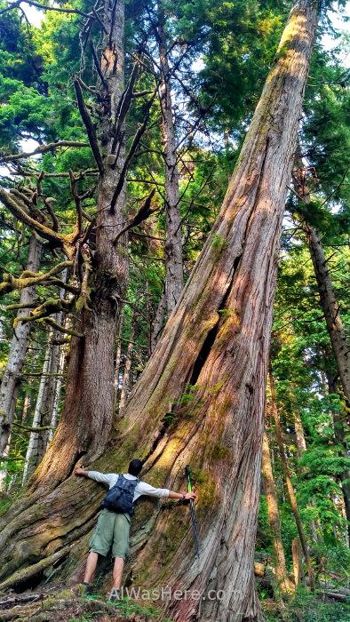 Juan de Fuca 13. arboles gigantes cedro rojo bosque Marine Trail, Isla de Vancouver, Columbia Britanica, Canada. British, Island forest trees red cedar western