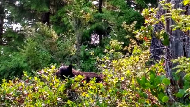 JUAN DE FUCA 14. Oso negro, Juan de Fuca Marine Trail, Isla de Vancouver, Columbia Britanica, Canada. Island, British. Black Bear