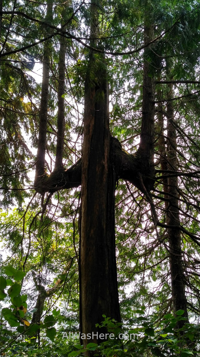 Juan de Fuca 16. arbol tridente o tenedor Marine Trail, Isla de Vancouver, Columbia Britanica, Canada. British, Island forest fork tree