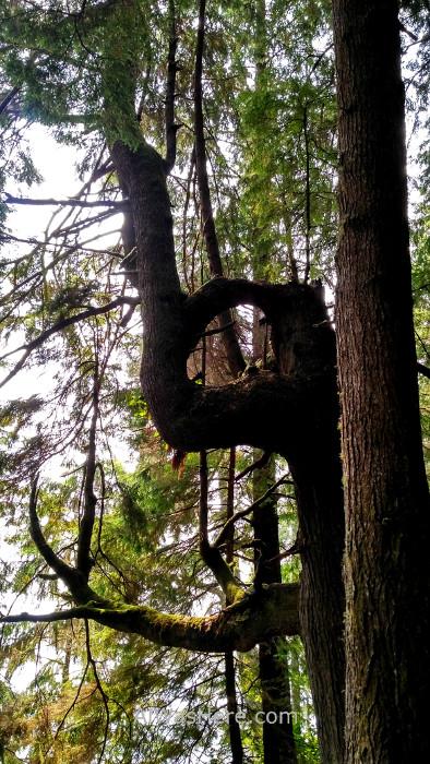 Juan de Fuca 17. arbol con rama circular Marine Trail, Isla de Vancouver, Columbia Britanica, Canada. British, Island forest circular tree