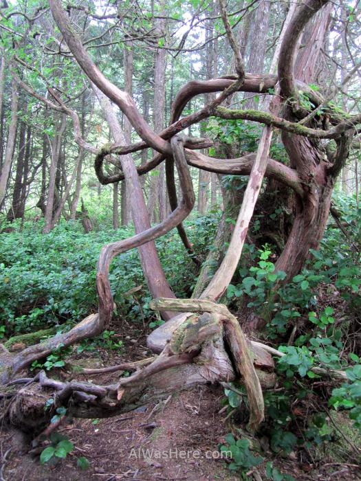 Juan de fuca 3. Botanical Beach. Arboles torcidos por el viento. Marine Trail, Isla de Vancouver, Columbia britanica, Canada. Island, British. Trees wind
