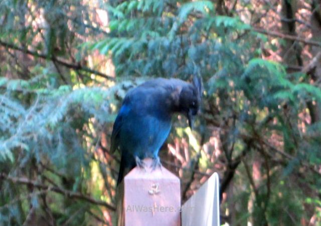 JUAN DE FUCA 35. Arrendajo azul de Steller Parkinson Creek Marine Trail, Isla de Vancouver, Columbia Britanica, Canada. British, Island. Blue jay