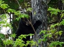 Osezno trepando a un árbol. Foto de Javier Garrido Aranda
