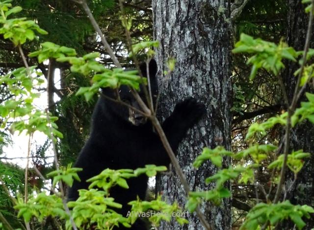 JUAN DE FUCA 36. Oso negro, Marine Trail, Isla de Vancouver, Columbia Britanica, Canada. British, Island. Black bear