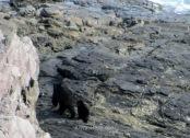 Ambos osos deambulando por las rocas de la costa minutos después