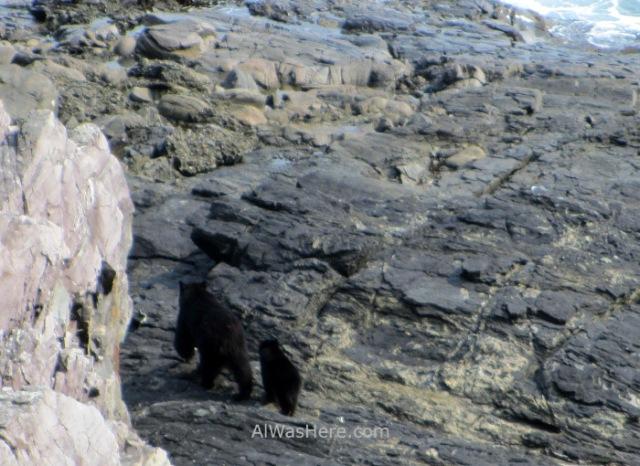 JUAN DE FUCA 36. Osos negros, Marine Trail, Isla de Vancouver, Columbia Britanica, Canada. British, Island. Black bears