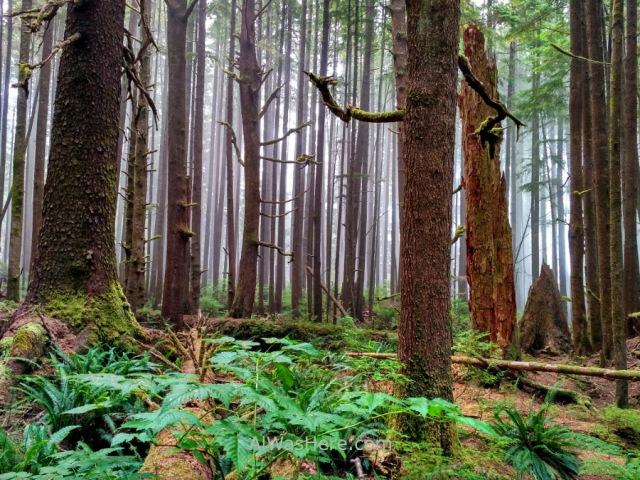 Juan de Fuca 5. Arboles del bosque Marine Trail, Isla de Vancouver, Columbia Britanica, Canada. British, Island trees forest