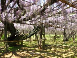Árboles de wisteria con sus pesados troncos y ramas sujetas por una estructura para formar el techo de flores