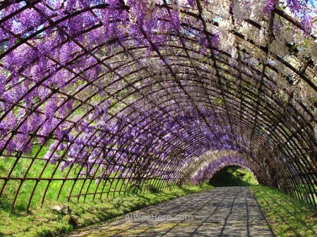 Kawachi Fujien 15. Tunel glicinias. Kitakyushu, Japon. Wisteria tunnel, Japan.