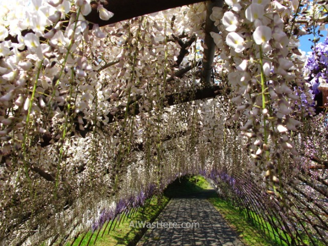Kawachi Fujien 16. Tunel glicinias. Kitakyushu, Japon. Wisteria tunnel, Japan.