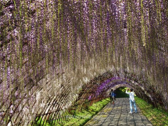 Kawachi Fujien 17. Tunel glicinias. Kitakyushu, Japon. Wisteria tunnel, Japan.