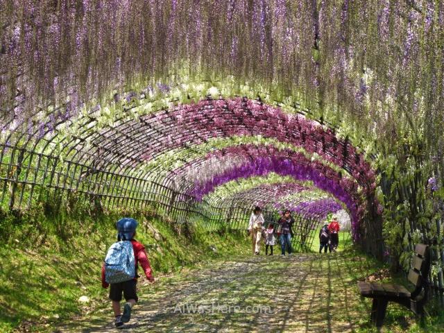 Kawachi Fujien 4. Tunel glicinias. Kitakyushu, Japon. Wisteria tunnel, Japan.