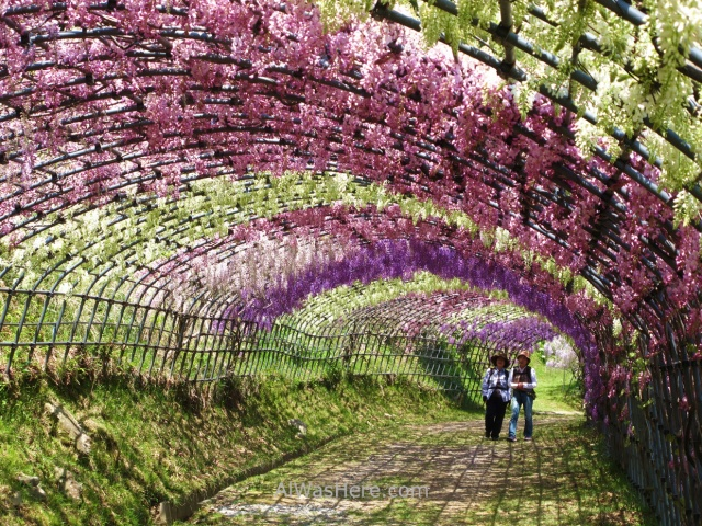 Kawachi Fujien 6. Tunel glicinias. Kitakyushu, Japon. Wisteria tunnel, Japan.