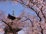 Flores de cerezo junto a una pagoda, Tokio