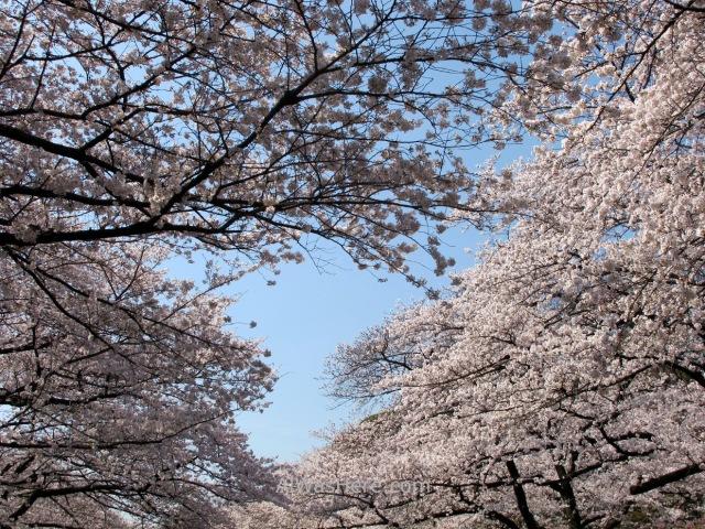 Sakura Hanami 1. Flores cerezo parque Ueno Tokio Japon. Cherry blossoms park Tokyo Japan