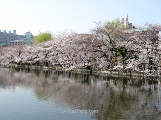 Sakura Hanami 10. Flores cerezo parque Ueno lago ShinobazuTokio Japon. Cherry blossoms park pond Tokyo Japan