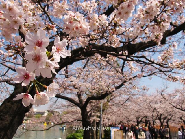 Sakura Hanami 11. Flores cerezo parque Ueno lago Shinobazu Tokio Japon. Cherry blossoms park pond Tokyo Japan