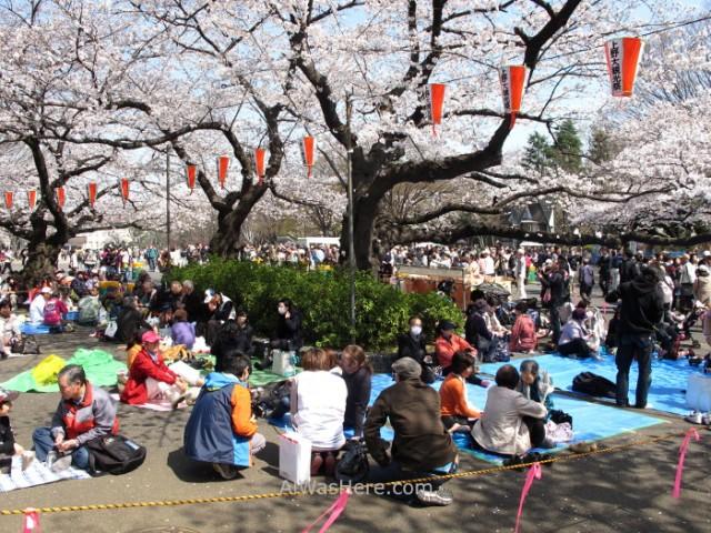 Sakura Hanami 2. Flores cerezo parque Ueno Tokio Japon. Cherry blossoms park Tokyo Japan