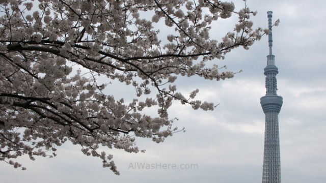 Sakura Hanami 20. Flores cerezo parque Sumida y Sky Tree Tokio Japon. Cherry blossoms park Tokyo Japan