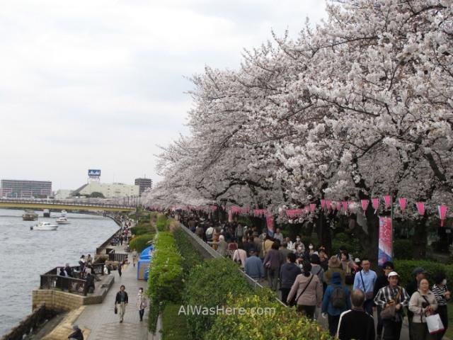 Sakura Hanami 21. Flores cerezo parque Sumida Tokio Japon. Cherry blossoms park Tokyo Japan