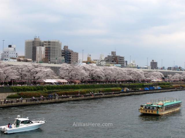 Sakura Hanami 22. Flores cerezo parque Sumida Tokio Japon. Cherry blossoms park Tokyo Japan