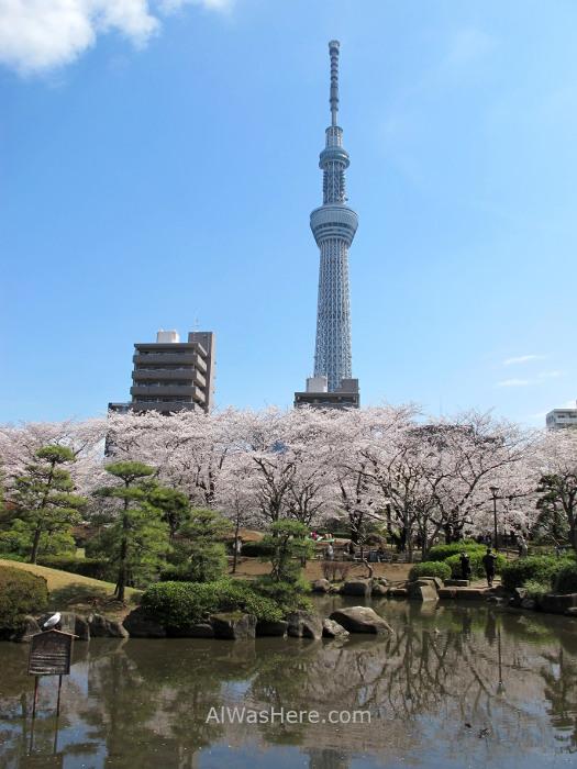 Sakura Hanami 26. Flores cerezo parque Sumida y Sky Tree Tokio Japon. Cherry blossoms park Tokyo Japan