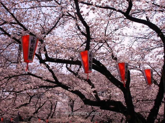 Sakura Hanami 3. Flores cerezo parque Ueno Tokio Japon. Cherry blossoms park Tokyo Japan