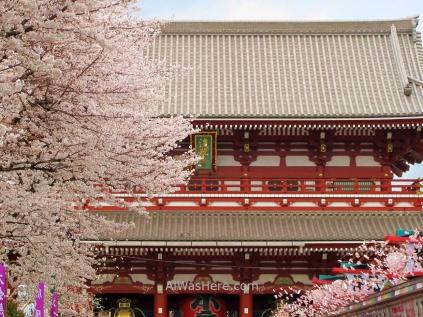 Edificio principal del Senso-ji tapado parcialmente por cerezos en flor