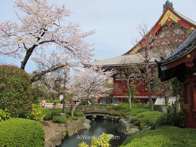 Sakura Hanami 31. Flores cerezo Senso-ji templo Tokio Japon. Cherry blossoms temple Tokyo Japan