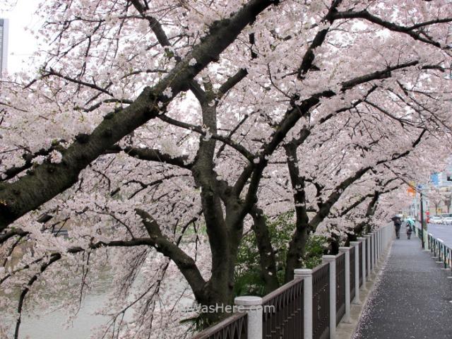 Sakura Hanami 32. Flores cerezo Chidorifugachi Tokio Japon. Cherry blossoms Tokyo Japan