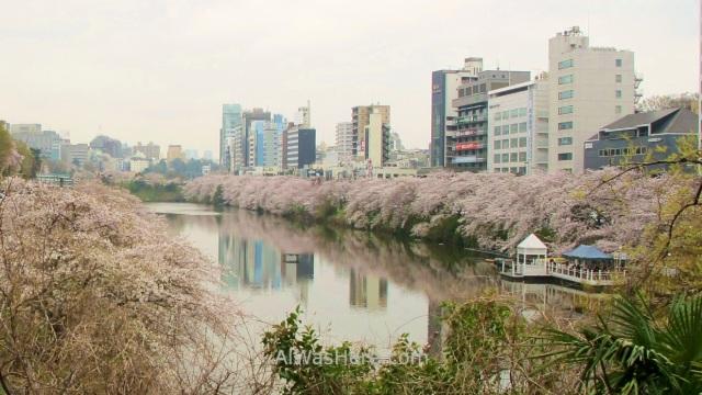Sakura Hanami 33. Flores cerezo Chidorifugachi Tokio Japon. Cherry blossoms Tokyo Japan