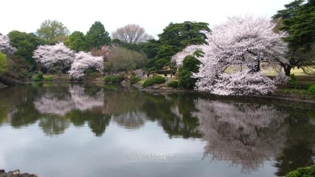 Sakura Hanami 42. Flores cerezo Shinjuku Gyoen Tokio Japon. Cherry blossoms Tokyo Japan