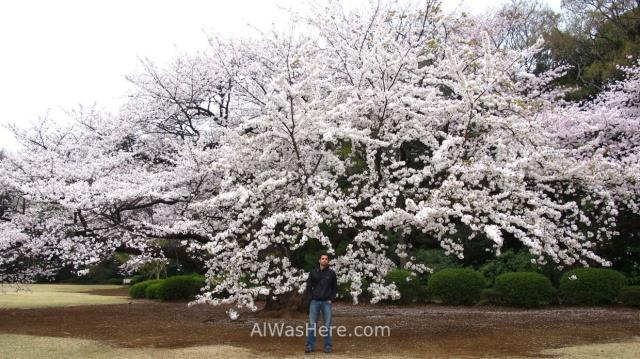 Sakura Hanami 43. Flores cerezo Shinjuku Gyoen Tokio Japon. Cherry blossoms Tokyo Japan alwashere.com