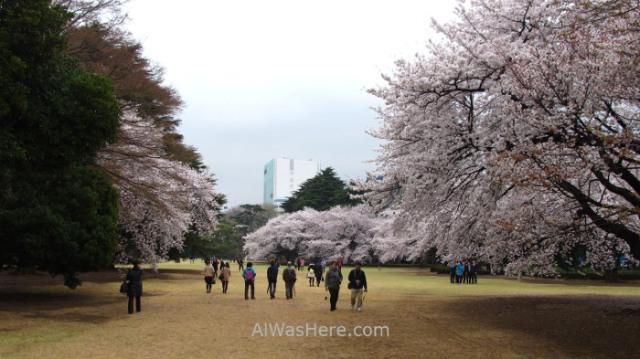 Sakura Hanami 44. Flores cerezo Shinjuku Gyoen Tokio Japon. Cherry blossoms Tokyo Japan