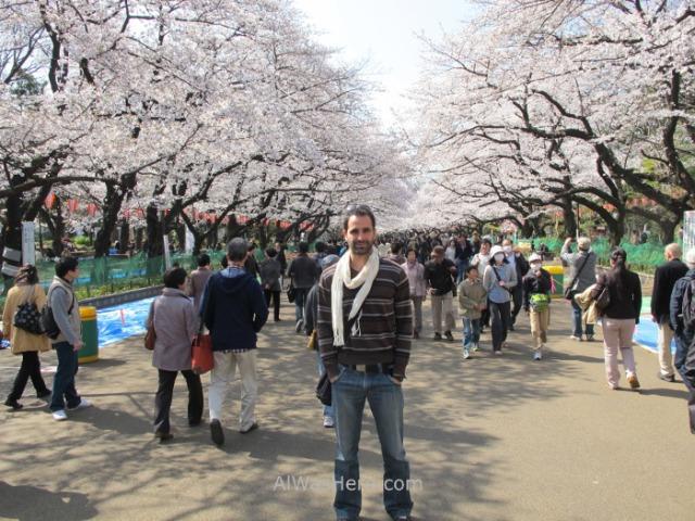 Sakura Hanami 5. Flores cerezo parque Ueno Tokio Japon. Cherry blossoms park Tokyo Japan alwashere.com