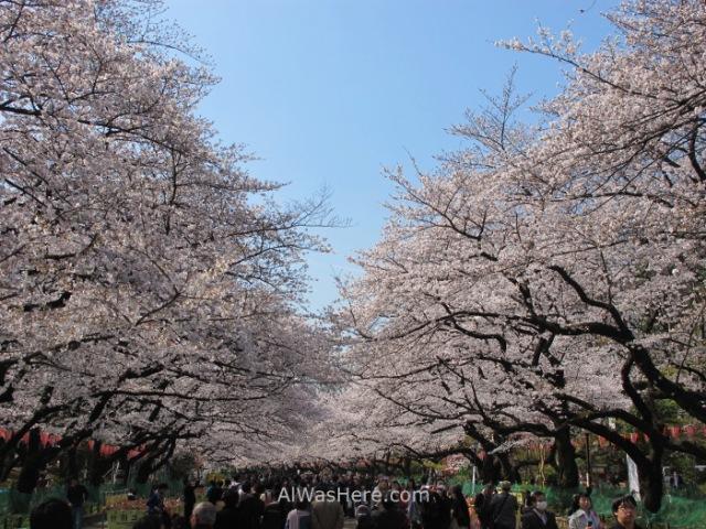 Sakura Hanami 6. Flores cerezo parque Ueno Tokio Japon. Cherry blossoms park Tokyo Japan