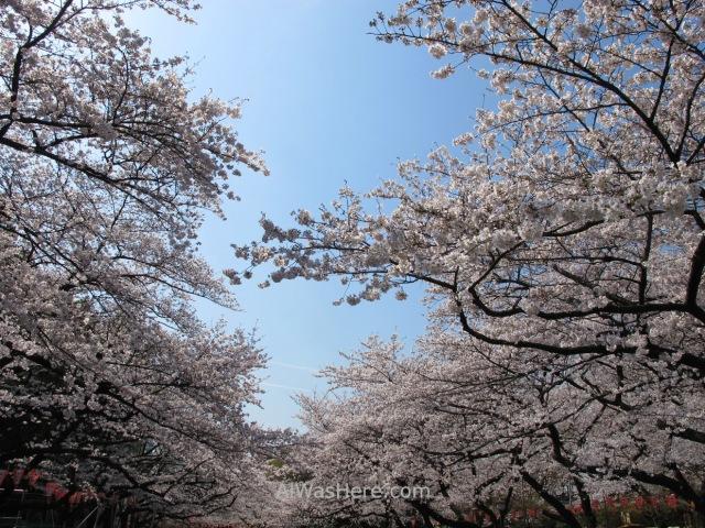 Sakura Hanami 7. Flores cerezo parque Ueno Tokio Japon. Cherry blossoms park Tokyo Japan